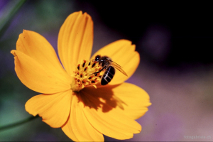 Blume m Biene
